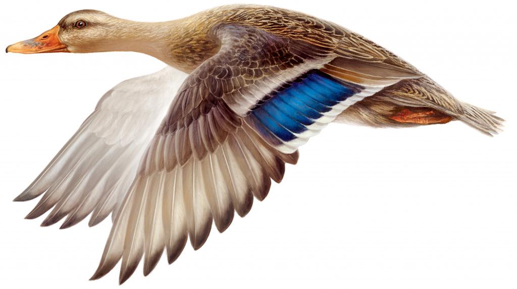 Schnelle Ente