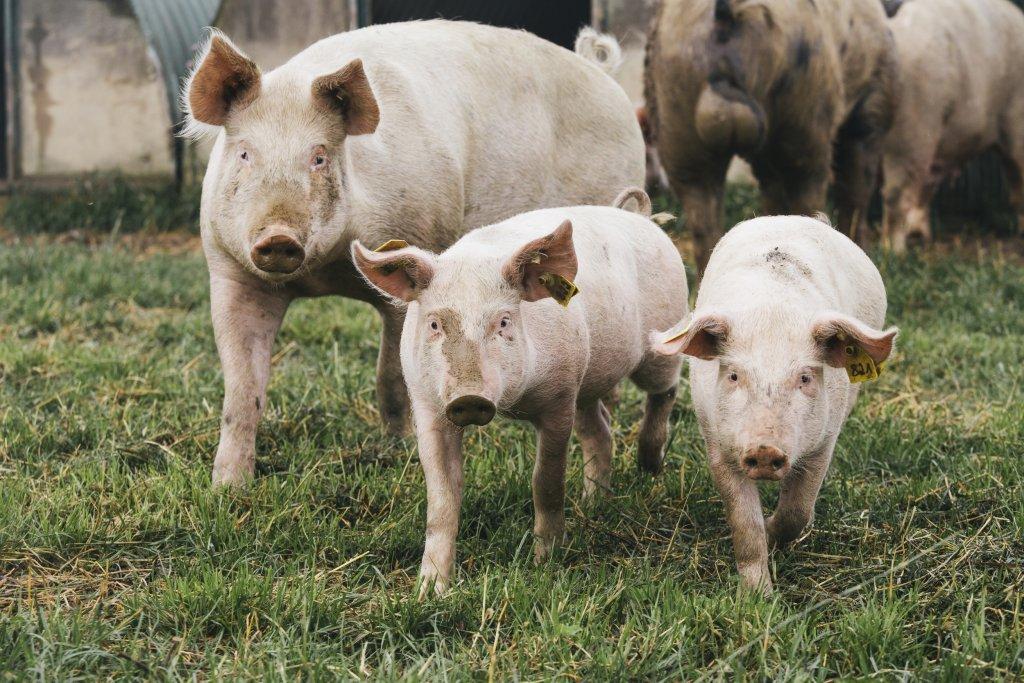 Schwein und Ferkel auf einem Feld.