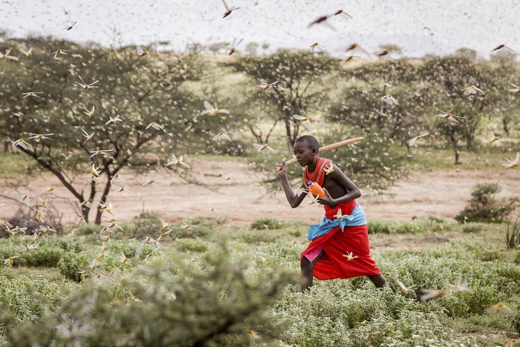 Heuschrecken in Ostafrika
