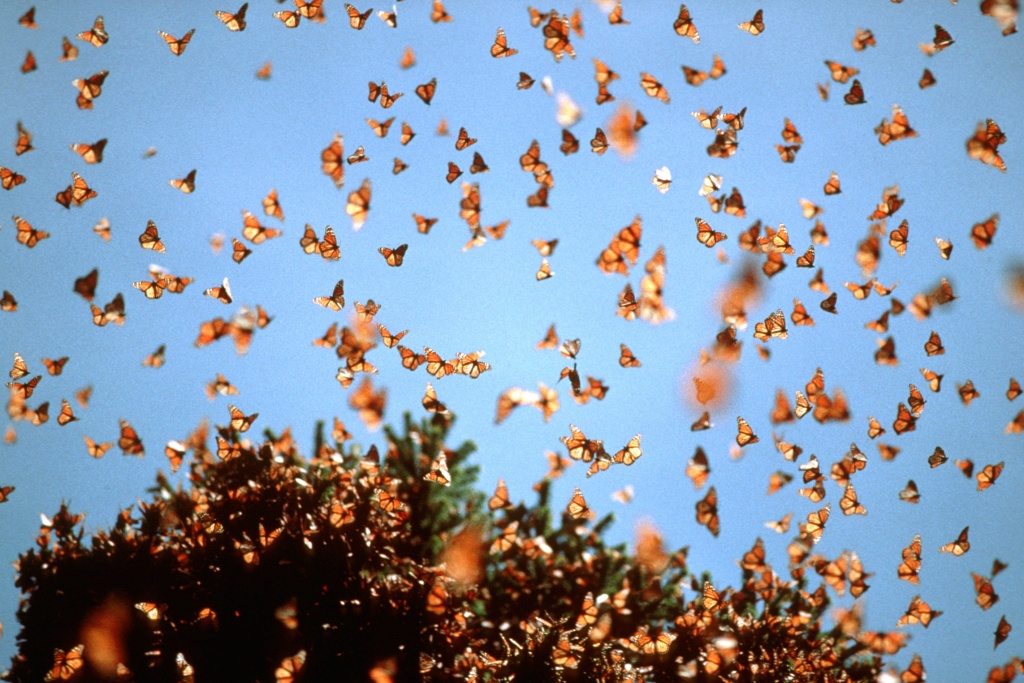 Der riskante Kampf für die Schmetterlinge