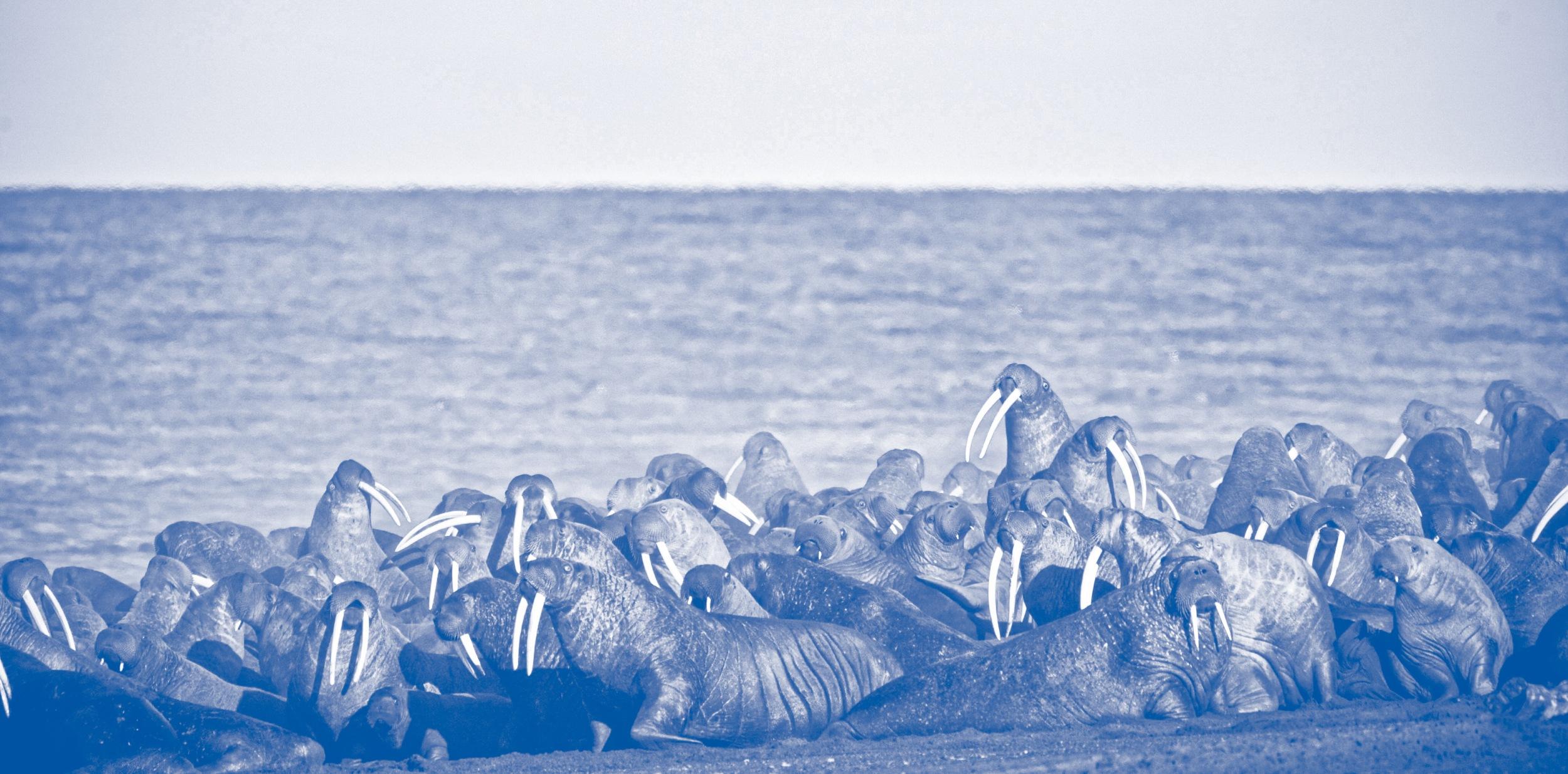 MASSIVE PROBLEME Walrosse zählen zu den Verlierern des Klimawandels. Das Meereis, das ihnen als Tauchplattform dient, schmilzt rapide