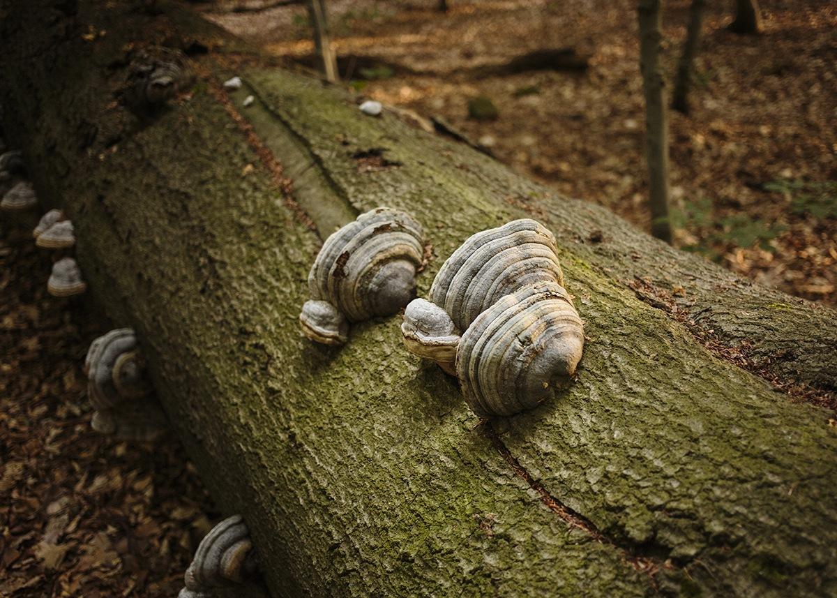 Konsolenpilze wachsen auf Totholz