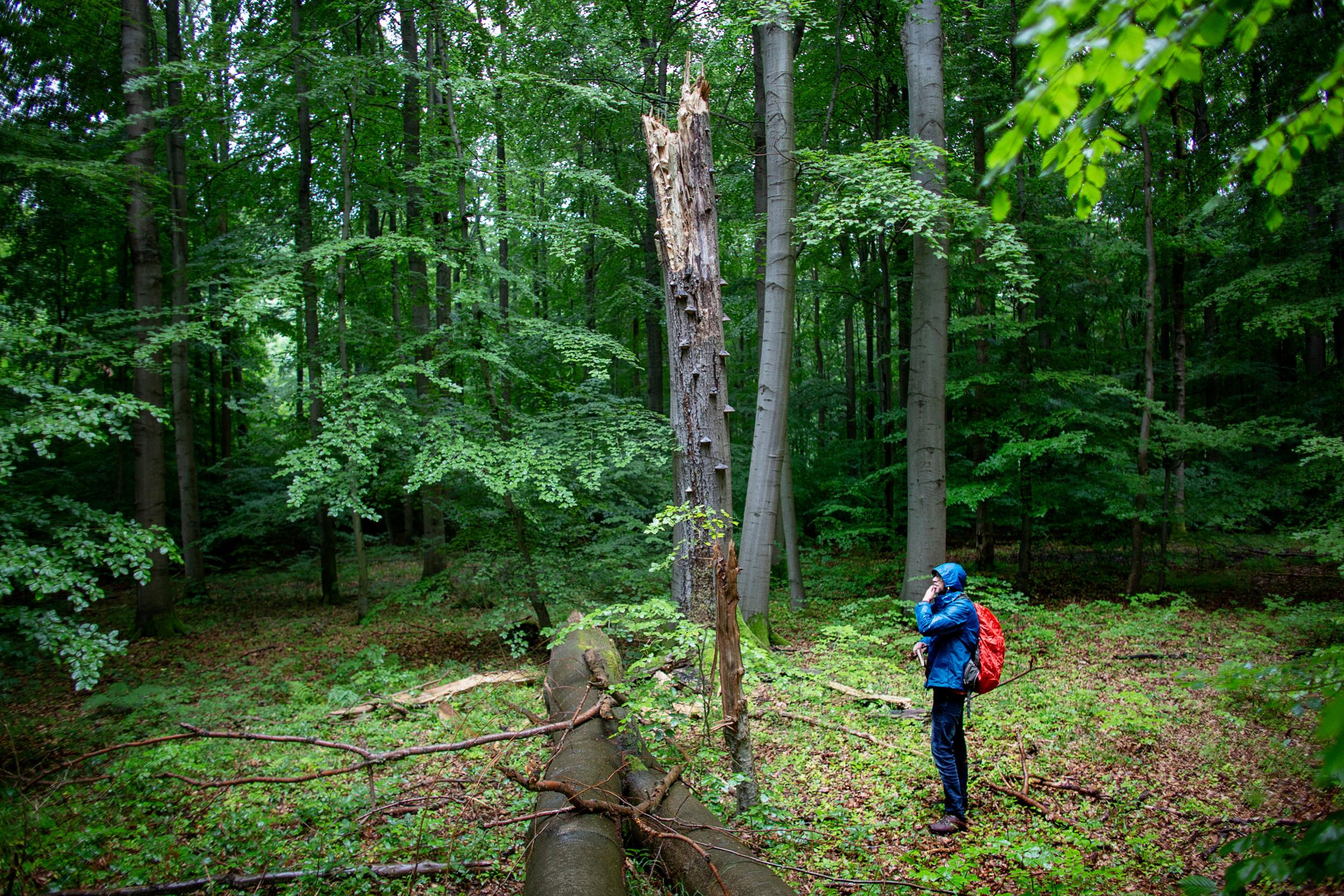 Uriger Wald: Künftig sollen wieder mehr Bäume natürlich altern und sterben wie hier im Hainich in Thüringen