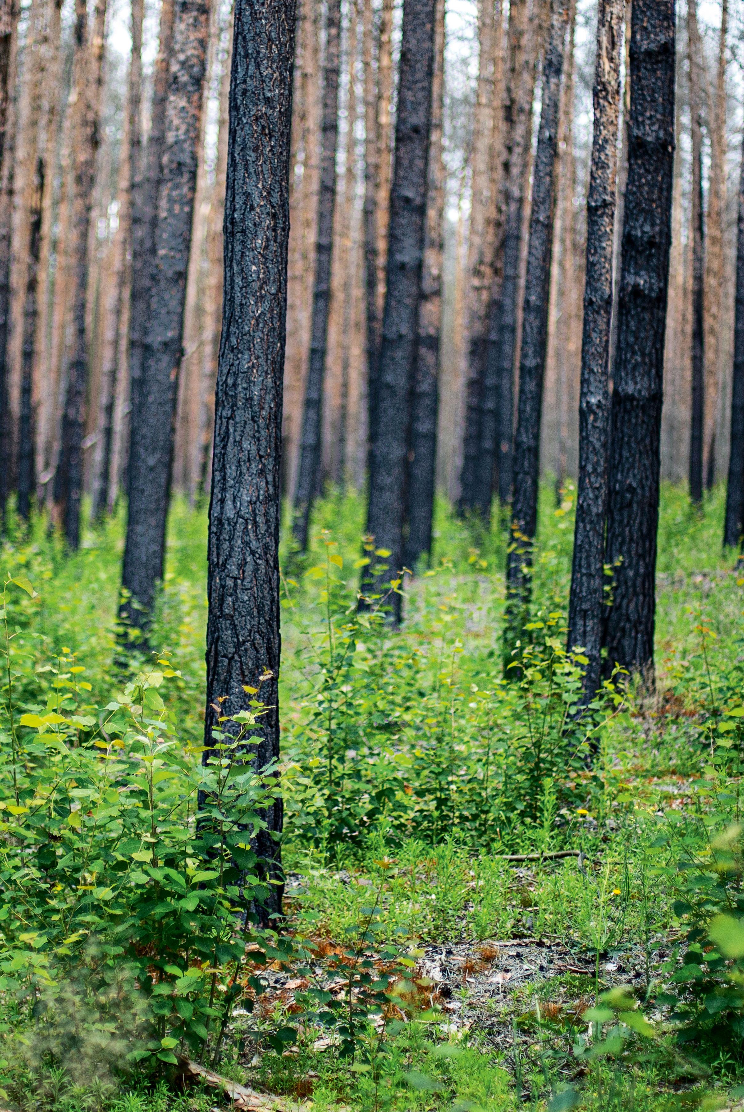 <p>LANGZEITDÜNGER<br /> Auf einer Versuchsfläche blieben die verkohlten Kiefern stehen. Ihre Nährstoffe sollen die natürliche Wiederbewaldung erleichtern</p>