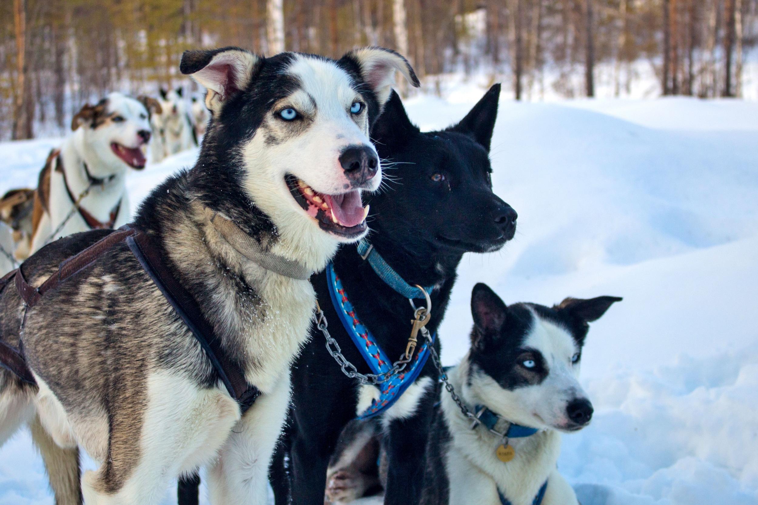 Huskys gehören zum Leben der Sámi. Sie ziehen die Schlitten durch die schneebedeckte Landschaft.