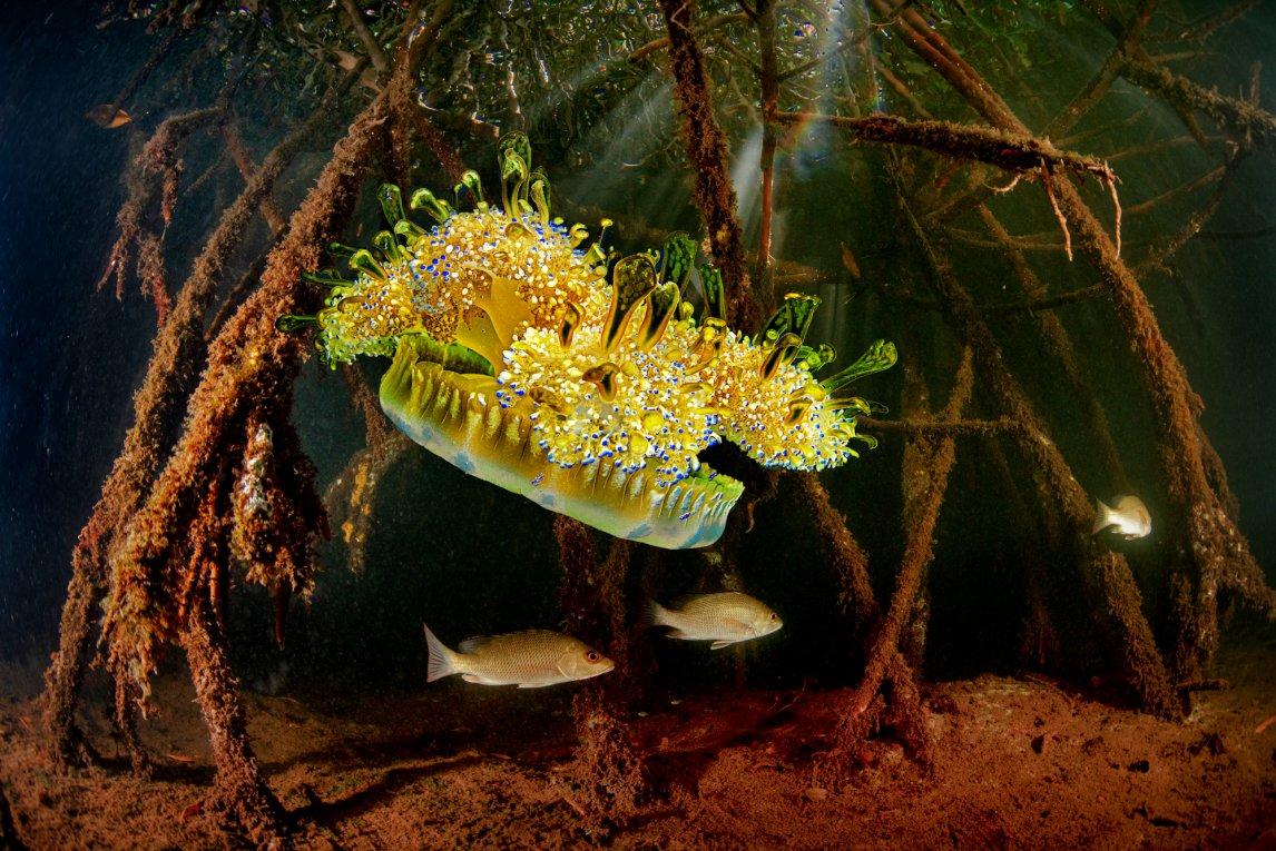 TENTAKELKLEIDEine Cassiopea gleitet langsam zu Boden. Die Mangrovenqualle steht kopf, da sie die meiste Zeit am Meeresgrund sitzt und nicht wie ihre Verwandten umhertreibt