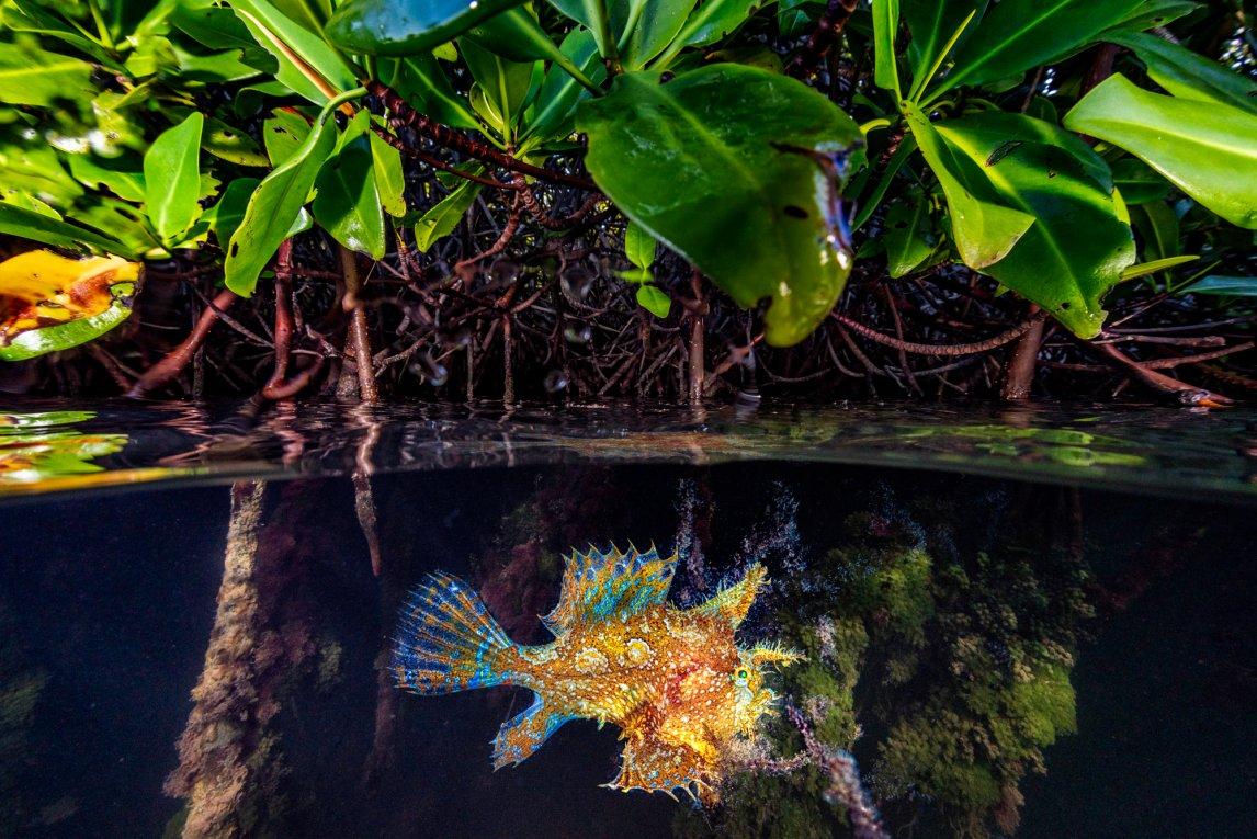 TOURISTSargassofische leben in Algenteppichen auf dem Nordatlantik. Die Flut spülte dieses Tier wohl samt Algen in die Mangroven