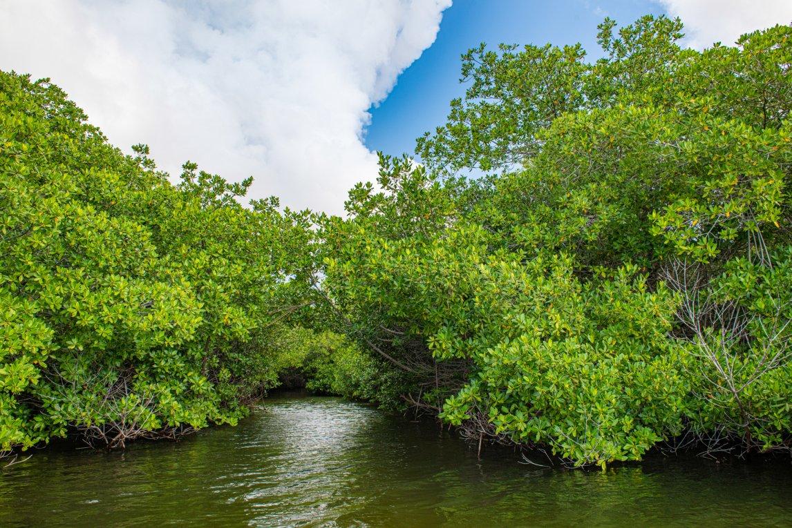 <p>AMPHIBISCHER WALDDie Bäume trotzen Salz und Gezeiten, ihre Stelzwurzeln schlagen sie über und unter Wasser. So festigen sie die Ufer und schützen vor Wirbelsturmfluten und Tsunamis</p>