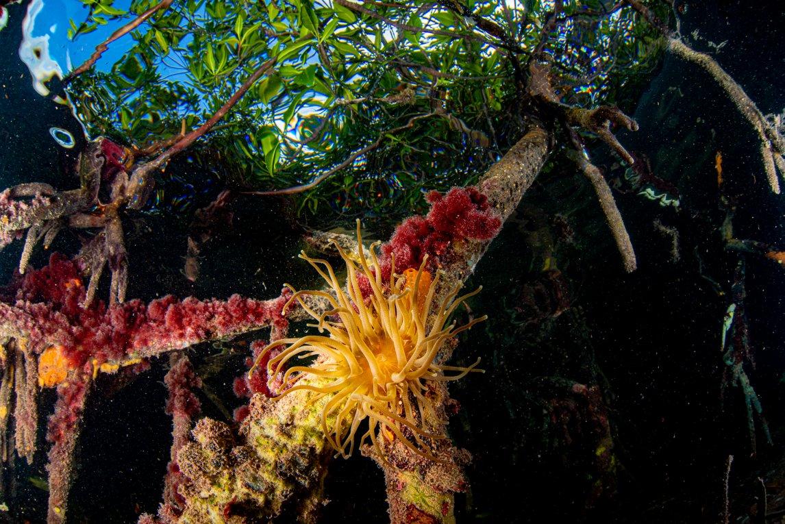 LEBENSRAUMSeeanemonen halten sich an den Wurzeln der Mangroven fest und fangen mit ihren Tentakeln Planktonwesen