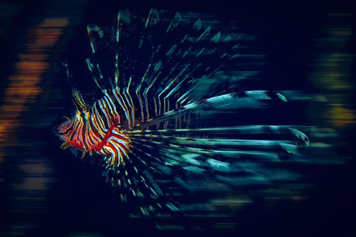 SCHÖNER INVASORRotfeuerfische stammen aus dem Indopazifik. Einige Exemplare entkamen wohl aus Aquarien, verbreiteten sich bis in die Karibik und bedrohen dort viele kleinere Arten. Bislang hilft gegen sie nur die Harpune