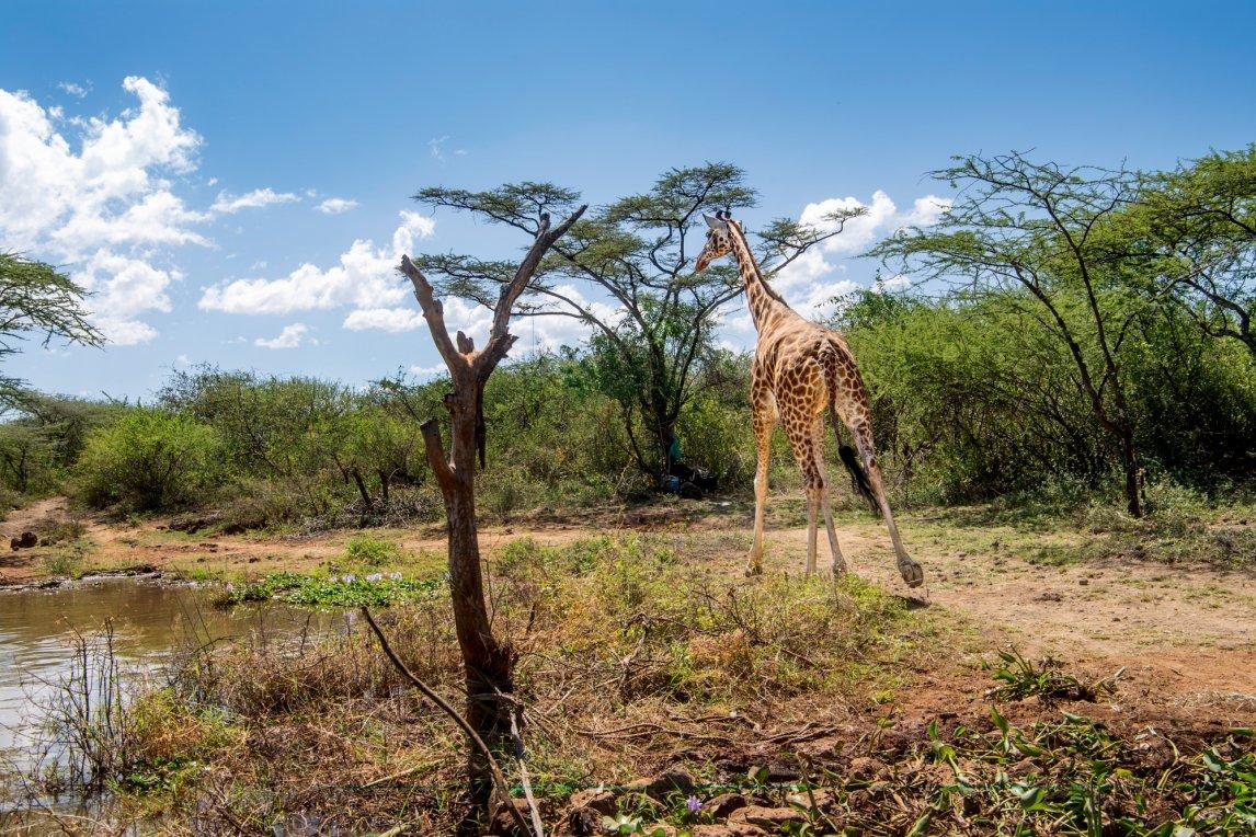 LANDGANG Insgesamt neun Giraffen sollen zunächst übergesiedelt werden