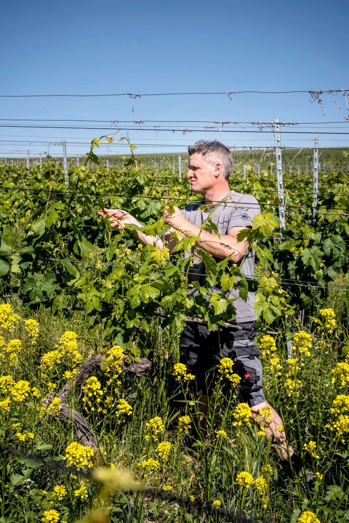 <p>TRAUBENGLÜCK<br /> Weinbauer Martin Linserauf seinem Gut in Freiburg-Opfingen.Zum Ausgleich für Bauland erhält er neue Rebflächen</p>