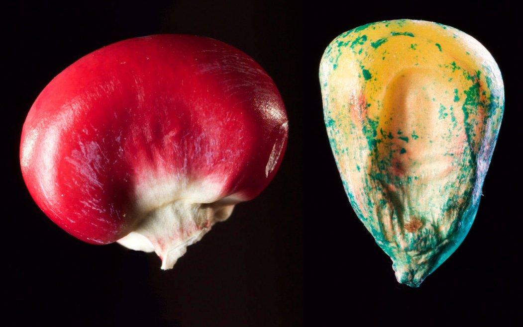"""Die Bildmontage zeigt Großaufnahmen besonderer Maiskörner aus dem Film """"Unser Saatgut"""""""